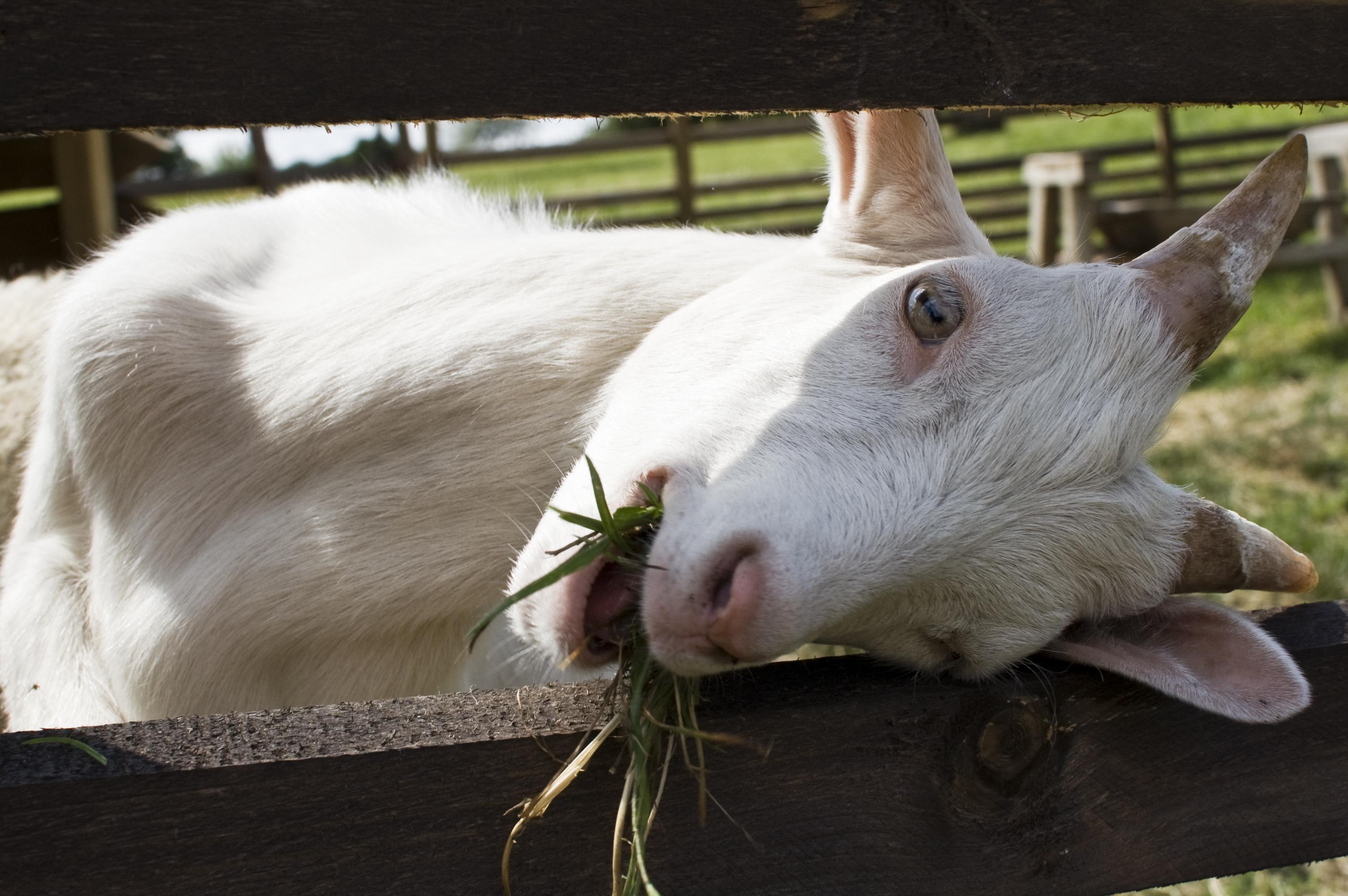 Goat essays